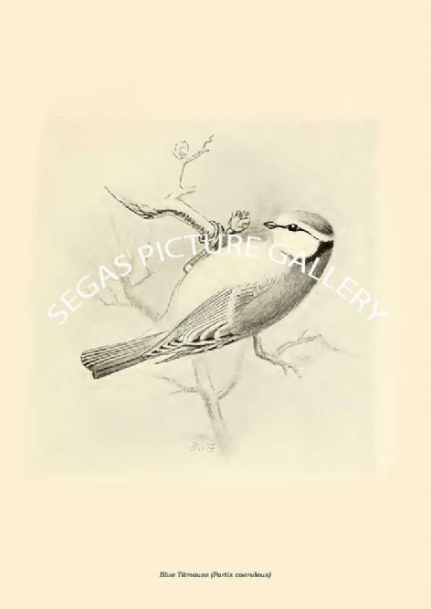 Fine art print of the Blue Titmouse (Partis caeruleus) by Frederick William Frohawk (1919)